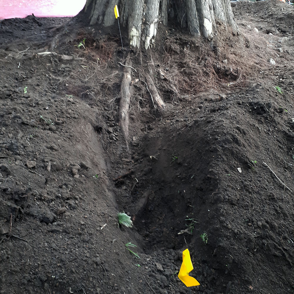 No damage to tree roots using airspade - Objective Tree Consultancy